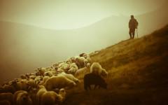 dobry-pasterz-i-owce
